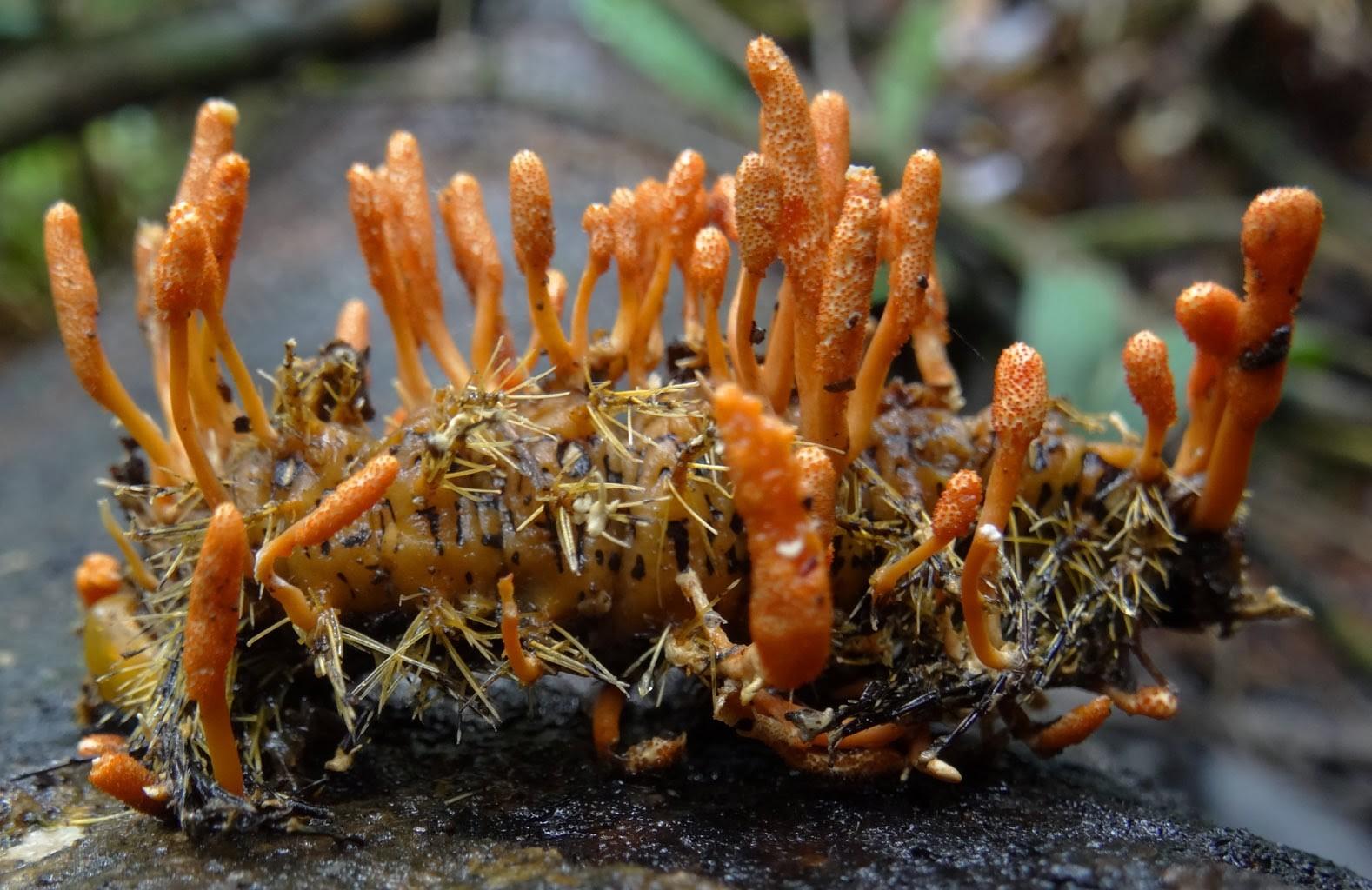Đông trùng hạ thảo được coi là vị thuốc hiếm
