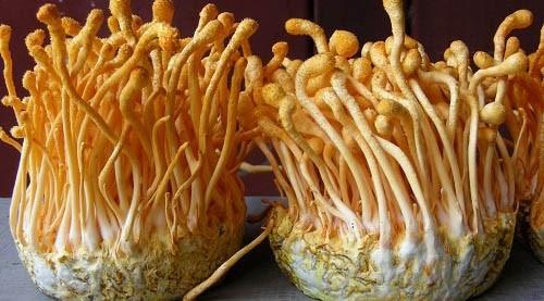 Đông trùng hạ thảo giúp tăng cường sức mạnh sinh lý