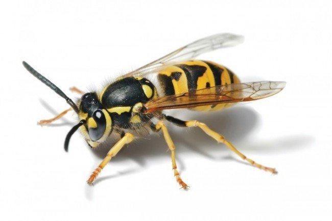 Ong vò vẽ có thể là vị thuốc đông y trị đau bụng hiệu quả