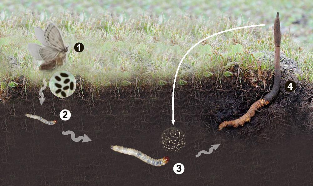 Quá trình hình thành đông trùng hạ thảo